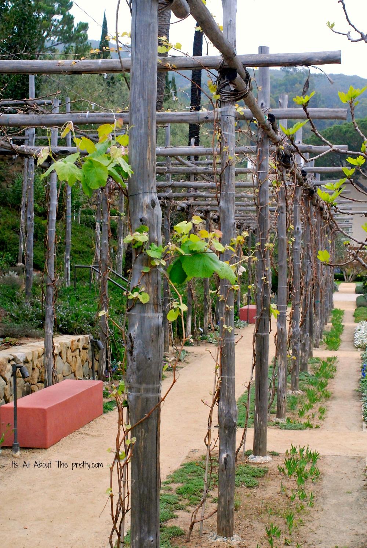 Getty Villa grape vines