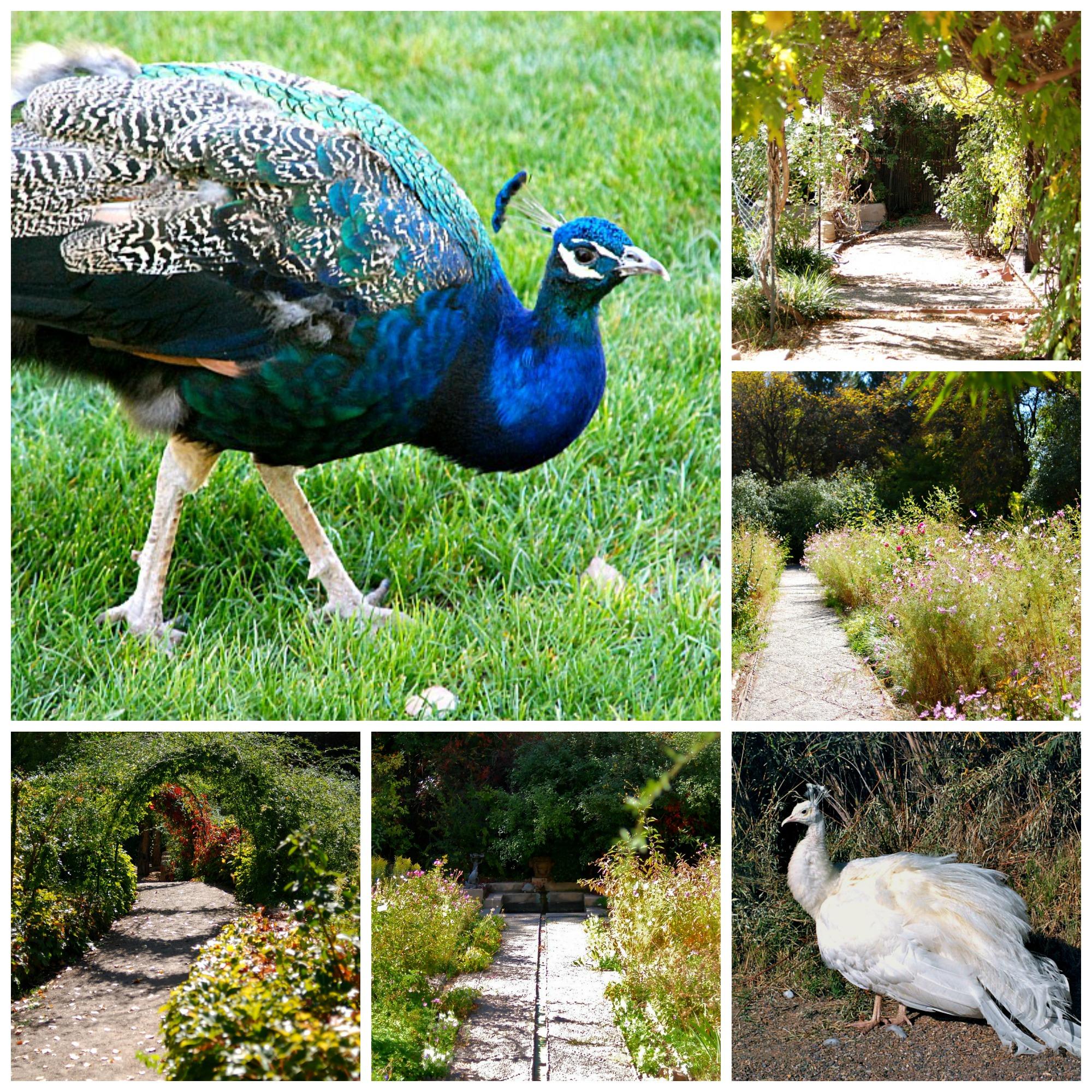 Paths and Peacocks