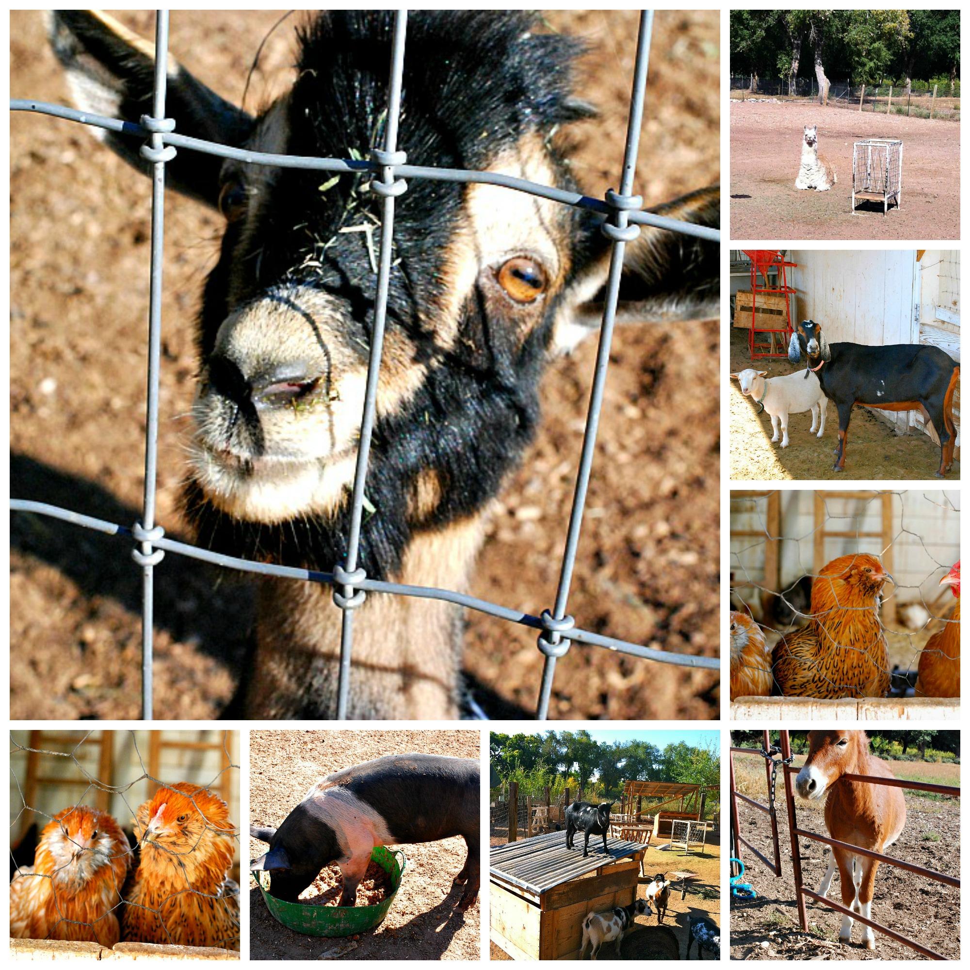 los poblanos Farm Animals