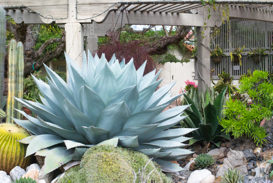 Sherman Library & Gardens Succulents Large Succulent