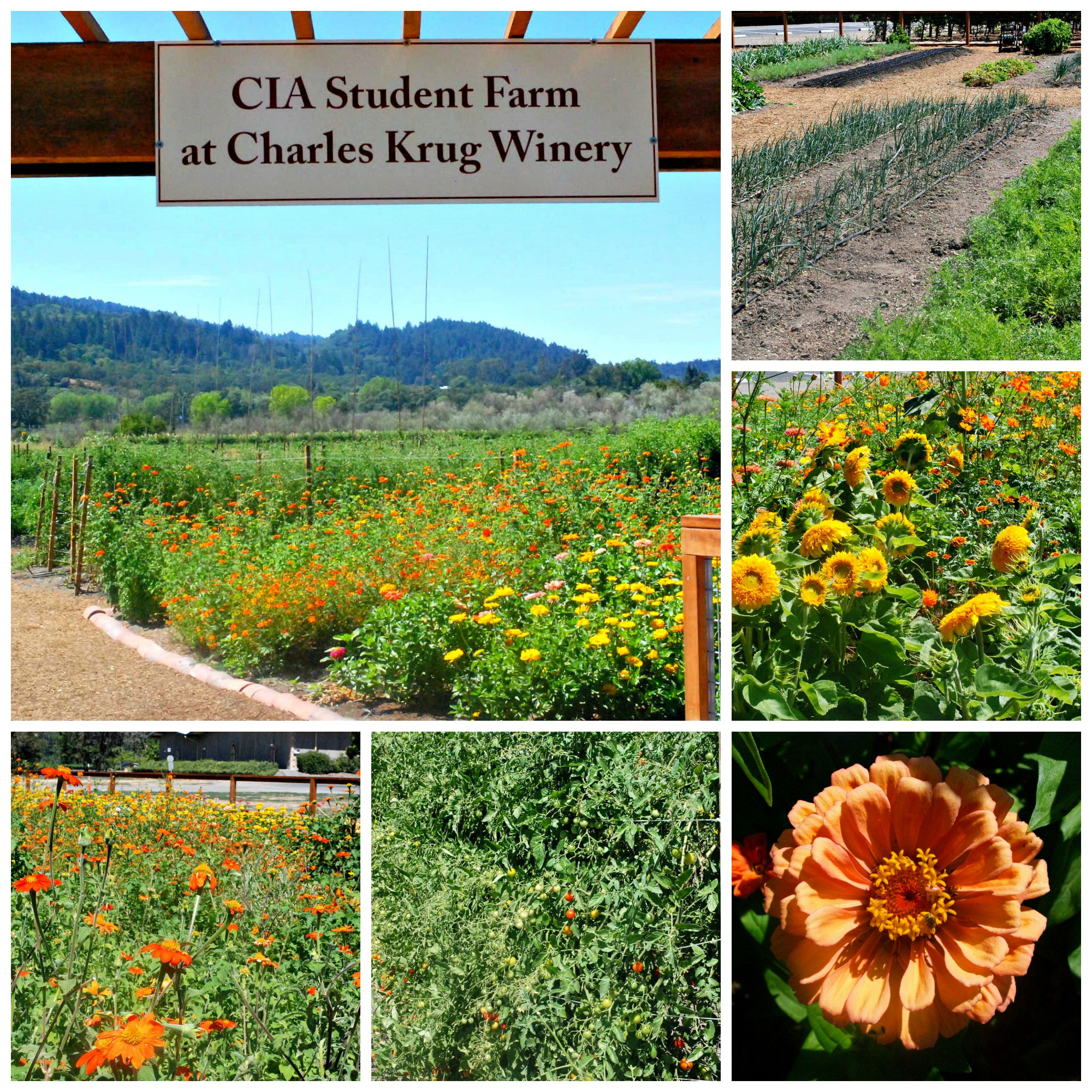 Culinary Institute of America student farm at Charles Krug