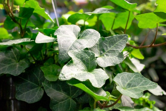 Houseplants for a Healthier Home English Ivy