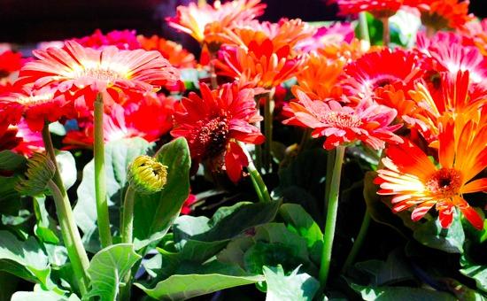 Houseplants for a Healthier Home, Gerbera Daisy, plants, flowers