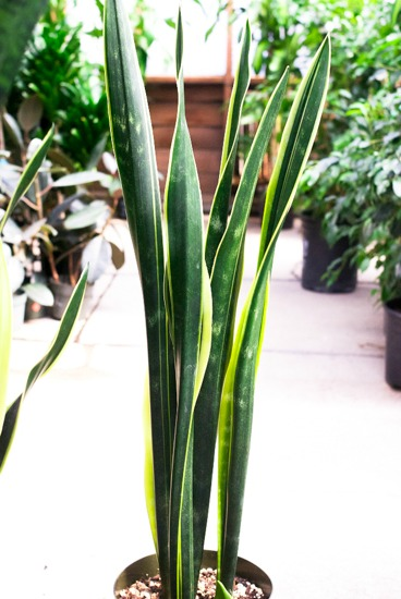 Houseplants for a Healthier Home, snake plant, mothers in law tounge, Sansevieria