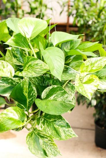 Houseplants for a Healthier Home Pothos